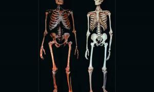 Neanderthal vs Human skeletons