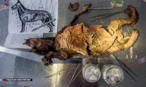The 12,000-year-old remains of puppy were discovered perfectly intact sealed inside permafrost.