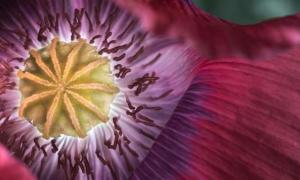 Did Ancient Swiss Farmers Genetically Modify Opium Poppies?