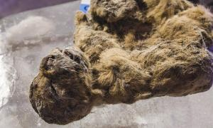 Yesterday in Yakutsk, the coldest city on Earth, the pre-historic specimens were revealed to the media in a permafrost cave, perhaps reminiscent of their natural habitat when they roamed Siberia.