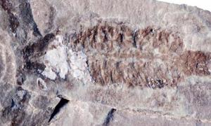 A fossil of Parioscorpio venator, a 437-million-year-old scorpion that resembles modern species. Source: Wendruff et al., Scientific Reports, 2020
