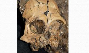 Six million year old ape cranium