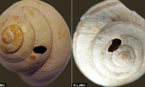 Snails appear to have holes drilled into them to make it easier to extract the meat, researchers say.