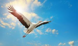 The stork has been a bird of legends through the centuries.	Source: Serghei Velusceac / Adobe Stock