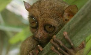 Tarsier Primates