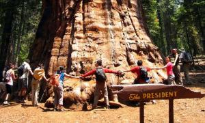 The base of the 'President', Oldest living sequoia.