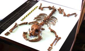 Remains of the Roman toy dog reveal its tiny stature and a healthy diet similar to its owners. Source: Martínez Sánchez / University of Granada
