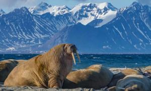 The Icelandic walrus began extinct at the arrival of the Norse. Source: Calvin / Adobe Stock.