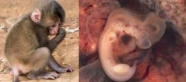 Young chimpanzee. On Right - Human Embryo. Source: Left, Public Domain; Right, CC BY-SA 2.0.