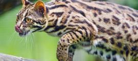 An Asian leopard cat