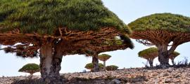 Dragon's Blood Trees, Socotra Island, Yemen