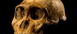 """Skull of Malapa hominid 1 (MH1) from South Africa, named """"Karabo""""."""