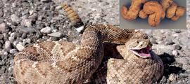 Whole rattlesnake found in human-produced coprolites.