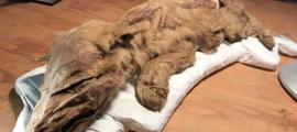 Mummified wolf-cub found in Yukon