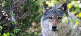 Grey wolf.   Source: Jon Anders Wiken /Adobe Stock