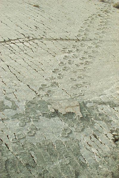 Dinosaur (titanosaurs) footprints.