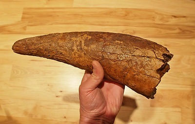 Example of a Triceratops horn